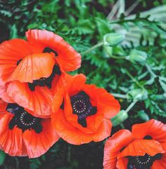 Perennials to plant for an infinitely beautiful garden May 20 - Poppies. Perennials to plant for an infinitely beautiful garden May 20 - Best Perennials, Flowers Perennials, Flower Seeds, Flower Pots, Amazing Gardens, Beautiful Gardens, Flowers Canada, Planting Poppies, Spring Hill Nursery