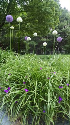 Giant Allium and Spiderwort