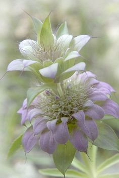 Purple Horse Mint Beautiful