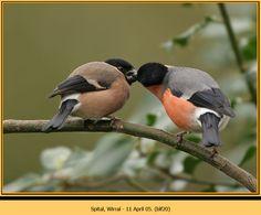 pair of Bullfinches
