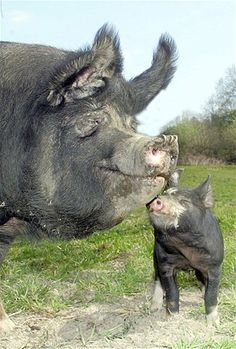Image: Pigs (© Rex Features)
