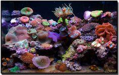 Nano Reef Tank (Lots pics) - Page 24 - Reef Central Online Community Sea Aquarium, Marine Aquarium, Saltwater Fish Tanks, Saltwater Aquarium, Underwater Creatures, Ocean Creatures, Nano Reef Tank, Reef Tanks, Coral Reef Plants