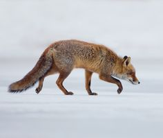 beautiful-wildlife: Walking on thin icebyMenno Schaefer Red...