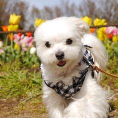 .止まってられないー.#珍しくアクティブ発言#この後たんまり走ったよ..#maltese #malteseofinstagram #east_dog_japan #pecoいぬ部 #toyota_dog #todayswanko #ig_dogphoto #inutokyo #inulog #dogsofinstagram #bestfriends_dogs #わんのはな #ペットネット #マルチーズ #マルチーズのひろし