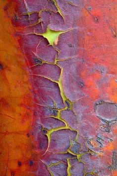 Madrone Evergreen - The World's Most Beautiful Tree Bark - Photographer Cedric Pollet travels around the world capturing the beauty of trees. Patterns In Nature, Textures Patterns, Foto Macro, Peeling Paint, Tree Bark, Tree Tree, World's Most Beautiful, Beautiful Textures, Beautiful Patterns
