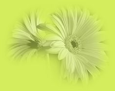 Gerbera, Dandelion, Flowers, Plants, Dandelions, Plant, Taraxacum Officinale, Royal Icing Flowers, Flower