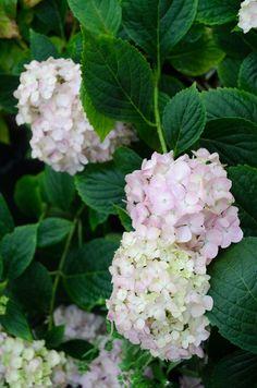 HYDRANGEA MACROPHYLLA 'MINI PENNY' by Secret Garden Growers