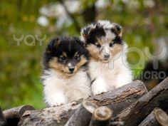 sheltie - Bing Images