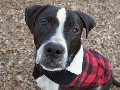 Manhattan Center PANDA aka SARGE – A1103592 **SAFER : EXPERIENCED HOME** NEUTERED MALE, BLACK / WHITE, PIT BULL MIX, 2 yrs STRAY – ONHOLDHERE, HOLD FOR ARRESTED Reason OWN ARREST Intake condition EXAM REQ Intake Date 02/13/2017, From NY 11221, DueOut Date 02/20/2017