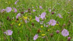 Image result for wildflowers british