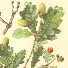1958 Leaves and Acorns of the English Oak Vintage Offset Lithograph