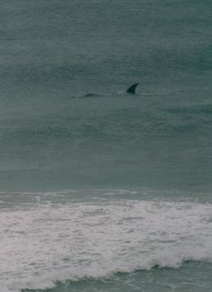 Southern Right Whale, Warrnambool, Victoria, Australia