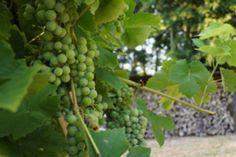 Wein pflegen im Sommer – 3 wertvolle Tipps