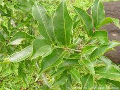 Salacia reticulata - කොතල හිඹුටු