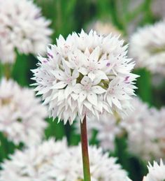 Allium amplectens 'Graceful,