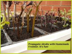 A simple shrub & tree propagation tutorial  http://www.homemadefrontier.com/2012/04/03/shrubs-a-propagation-lesson/