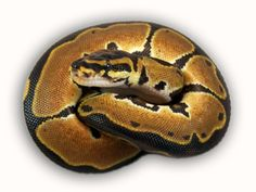 Co-Dominant Ball Python Morphs - A 2 Z Reptiles - Look at some snakes! Ball Python Morphs, Black Laces, Back To Black, Snakes, Reptiles, Earth, A Snake, Snake, Mother Goddess