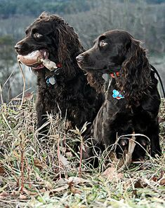 The original Boykin Spaniel was a stray dog picked up outside a Spartanburg, South Carolina church by Alexander White.
