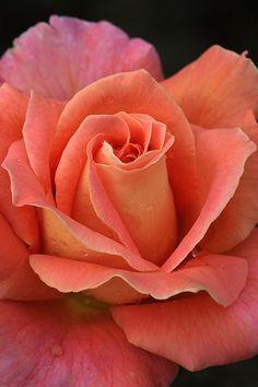 Macro - Rose - Salmon