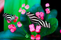 Farfalla zebra! (la natura sa essere fantasiosa) #StMartin #lavitahabisognodicaraibi #Caraibi