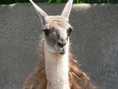 Tina, you fat lard, come get some dinner!  San Diego Zoo llama