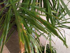 Dracaena Problem - http://www.gardenanswers.com/house-plants/dracaena-problem-11/