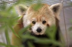 """Will Smith"" a red panda, relaxes in it's enclosure at Happy Hollow Park & Zoo in San Jose, Calif., Saturday, Oct. 8, 2016.  Gaila and Will, two endangered red pandas, were available to view on Saturday, the opening day of the exhibit. (Patrick Tehan/Bay Area News Group)"