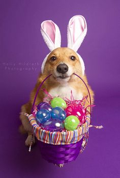 still not over the Easter Corgi