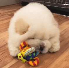 Someone check our pulse because we're feeling a wee bit faint from cuteness overload. The source of our temporary ailment is this über adorable Chow Chow puppy named Puffie we spotted at Bored Panda, … Shitzu Puppies, Baby Puppies, Baby Dogs, Dogs And Puppies, Doggies, Fluffy Dogs, Fluffy Animals, Cute Baby Animals, Perros Chow Chow