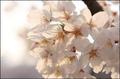 Subtle Sakura
