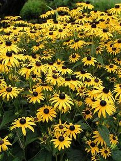 """Rudbeckia Goldsturm (Brown Eyed Susan) is another favorite perennial! Dazzling mounds of yellow flowers with a deep brown center. One of the longest blooming available, & seemingly unbothered by insects or drought. Mid summer blooming, thru fall. Height: Medium 24"""" / Plant 18"""" apart Bloom Time: Summer to Fall Sun-Shade: Full Sun to Half Sun/ Half Shade Zones: 3-9 Soil Condition: Normal, Clay, Sandy, Acidic Flower Color / Accent: Yellow / Yellow"""