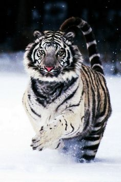 White Tigers. AWESOME