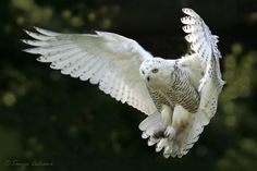 The Snowy Owl (Bubo scandiacus Linnaeus, is a bird of the family of Strigidi. The Snowy Owl is the official bird of Quebec. Beautiful Owl, Most Beautiful Animals, Beautiful Creatures, Magical Creatures, Beautiful Pictures, Owl Bird, Bird Art, Pet Birds, Owl Cat