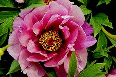Full size picture of Intersectional Peony, Itoh Peony 'Yankee Doodle Dandy' (<i>Paeonia</i>)