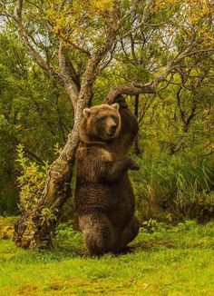 Grizzly rubbing his back on a tree on the bank of Battle River in a remote area of Katmai National Park, Alaska. Photo credit: © Jim James