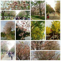#Sakura en #Thailande.