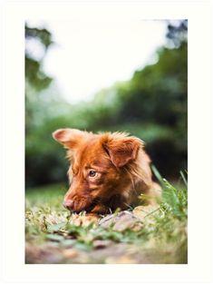 Color Dog Portrait Art Print for Sale | #dogportrait #colordogphoto #coloranimalphoto #animalsphoto #petphoto #dogphoto #cutedogphoto #petportrait #reddog #luciaeggenhoffer #animalportrait #yawningdog #dogyawn #doglovers #petlovers #cutepetphoto