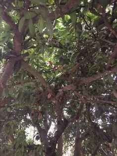 Árbol de Aguacate  Orduña de Abajo