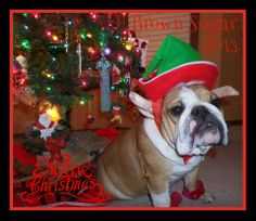 """❤ """"Mom says I'm so cute, I made the cover of the Christmas Cards!"""" ❤ Posted on I Love my English Bulldogs"""