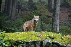 hábitat-del-lobo.jpg (800×533)