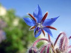 Starflower 1 - Flores comestibles - Wikipedia, la enciclopedia libre