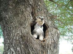 Schnauzer in trees