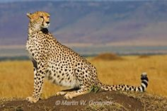 Save the Nature,save the Wild  AFRICAN CHEETAH:FASTEST CREATURE
