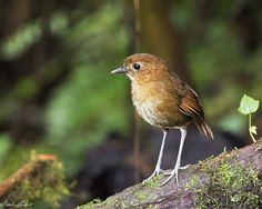 Frank Shufelt posted a photo:  February 21, 2917, at Rio Blanco Reserva Ecologica, Manizales, Caldas, Colombia,  This was a very special find. The Brown-banded Antpitta (Grallaria milleri) is ENDEMIC to Colombia and vulnerable due to loss of suitable habitat as a result of human activity. In 1992 it was suspected that the species was extinct, but it was rediscovered in 1994. Its range is limited to a small area between 1800 and 3100 meters above sea level in the forests of the central…