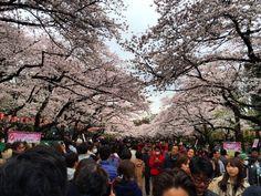 東京の桜はやはりここ上野桜の見事さだけでなく花見客の数と熱気に圧倒されてしまう#sakura #hanami #ueno #tokyo