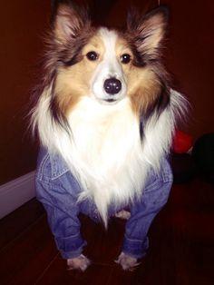 Sheltie in her Jean Jacket