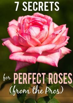 7 Rose Growing Secrets from the Pros -Make sure your rose garden isradiant and beautiful this year with these 7 Rose Growing Secrets the Pros Use. Super easy gardening tips that are absolutely effective for gorgeous roses! Garden Care, Garden Show, Planting Roses, Flowers Garden, Flower Gardening, Comment Planter Des Roses, Rose Garden Design, Raised Vegetable Gardens, Vegetable Gardening