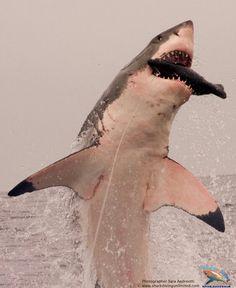 Shark breech attack