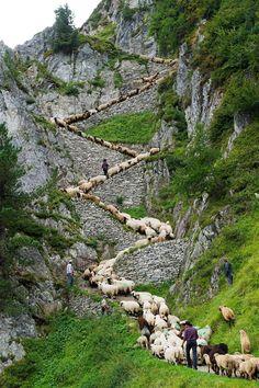 "A flock of alpine sheep walk on a cliff path on the way from summer grazing high above the Aletschgletscher glacier down to Belalp in the canton of Valais, during the ""Schaeferwochenende"" (Shepherd's Weekend) near Blatten, Switzerland."
