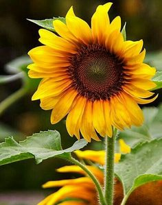 Growing Sunflowers, Sunflowers And Daisies, Yellow Flowers, Sun Flowers, Sunflower Garden, Sunflower Art, Sunflower Fields, Sunflower Quotes, Sunflower Pictures